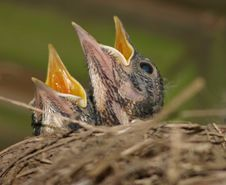 Two Baby Robins