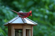 Free Cardinal On Feeder Stock Photos - 968413