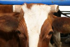 Cow,chopped Horn Royalty Free Stock Photos