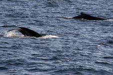 Free Humpback Whale Tails Stock Photo - 969690