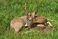 Free Injured Deer Stock Photo - 9601190
