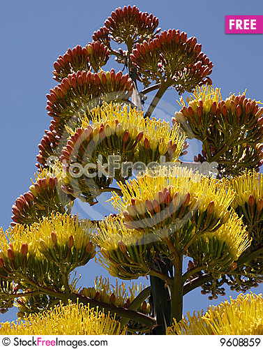 Free Agave Plant Flowers Royalty Free Stock Images - 9608859