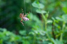 Free Hunting Spider Stock Photo - 9600770