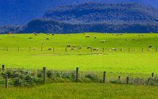 Free Sheep Flock New Zealand Stock Images - 9601284