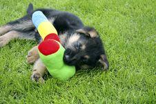 German Shepherd Puppy Stock Image