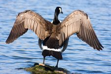 Goose Drying Off Royalty Free Stock Image