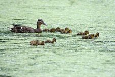 Mallard And Her Ducklings Royalty Free Stock Images