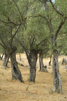 Free Olive Trees Stock Photos - 9605983