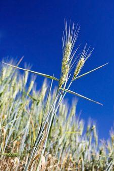 Free Wheat Ear Royalty Free Stock Photos - 9606308