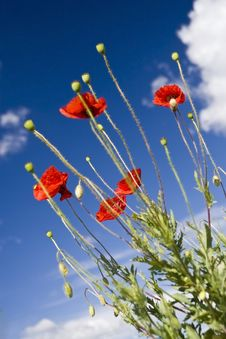 Free Poppy Royalty Free Stock Images - 9606619