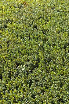 Free Detail Of A Neatly Trimmed Hedge Royalty Free Stock Photography - 9607217
