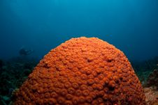 Free Coral Head Royalty Free Stock Photography - 9607727