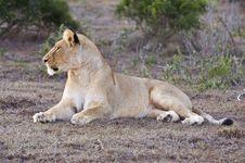 Free Sunset Lion Royalty Free Stock Photo - 9608385