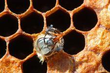 Exit Of A Bee. Stock Photos