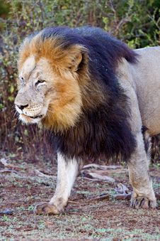 Free Majestic Lion Stock Photos - 9608693