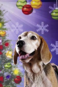 Free Shining Beagle Stock Photography - 9609722