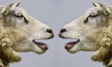Free Sheep, Fauna, Cow Goat Family, Goats Royalty Free Stock Photos - 96017168
