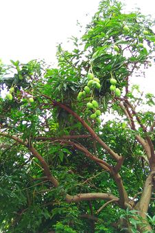 Free Jackfruits Hanging From Tree Royalty Free Stock Images - 96054809