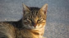 Free Stray Tabby Cat Royalty Free Stock Photos - 96054848