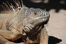 Free Reptile, Iguana, Scaled Reptile, Iguania Royalty Free Stock Image - 96093376