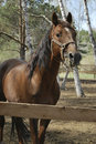 Free Stallion In Roundup Royalty Free Stock Images - 9612659