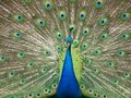 Free Peacock Royalty Free Stock Image - 9614366