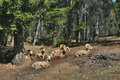 Free Mountain Sheeps Royalty Free Stock Image - 9615466
