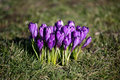 Free Purple Flowers Crocus Royalty Free Stock Photography - 9617637