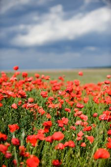 Free Red Poppy Field Royalty Free Stock Photos - 9610048
