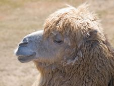 Free Camel Stock Image - 9611521