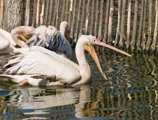 Free Pelicans Stock Photography - 9611602