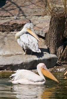 Free Pelicans Royalty Free Stock Photos - 9611638