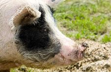 Free Portrait Of A Pig Royalty Free Stock Image - 9612176