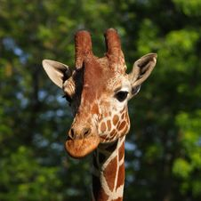 Free Giraffe Head Portrait Royalty Free Stock Images - 9612579