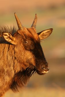 Free Young Wildebeest Stock Image - 9612971