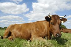Free Resting Cow Stock Image - 9613361