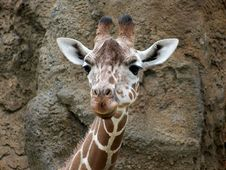 Free Giraffe Royalty Free Stock Photo - 9614405