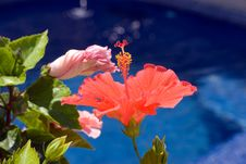 Free Hibiscus Flower Royalty Free Stock Photo - 9615095