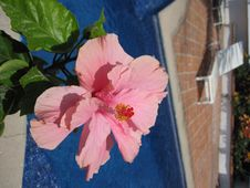 Free Hibiscus Flower Stock Photography - 9615132