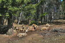 Mountain Sheeps Royalty Free Stock Image