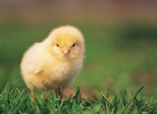 Free Close Up Of Chicken Royalty Free Stock Image - 9617076