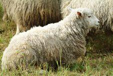 Free Flock Of Sheep Stock Photos - 9617133