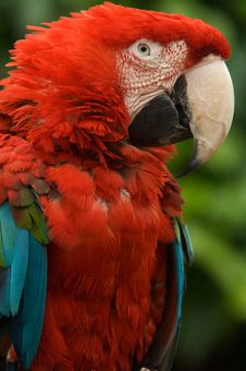 Free Red Macaw Stock Photo - 9617210