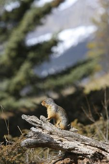 Free Ground Squirrel Royalty Free Stock Photo - 9617645
