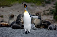Free King Penguin Royalty Free Stock Images - 9618359