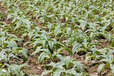 Free Field Of Artichokes, Brittany, France Stock Photography - 9618482