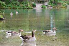 Greylag Geese Stock Photos