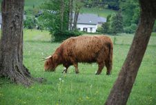 Free Highland Cattle Royalty Free Stock Images - 9618669