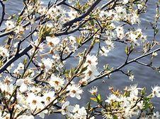 Free Blossoms At The Sea Royalty Free Stock Image - 9619756