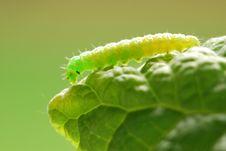Free Green Caterpillar Royalty Free Stock Photos - 9619758